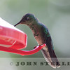 Speckle-breasted Hummingbird