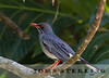 Puerto Rican Red-legged Thrush