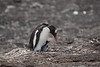 Falkland Islands - Saunders Island - Gentoo penguin with chick.