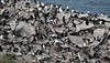 Falkland Islands - West Point Island - Rookery, shared with the Albatrosses.