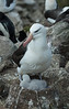 Falkland Islands - West Point Island - Black-browed Albatross with chick.