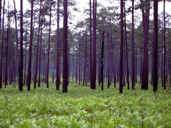 The longleaf pine habitat on Fort Benning supports the installation's stewardship and conversation efforts, to include protecting the endangered Red-Cockaded Woodpecker(Courtesy of the Texas Parks and Wildlife Department)
