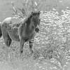 Pony foal in black and white