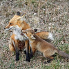 IMG_0995<br /> Adult Redfox with her Kit<br /> Boulder County,Colorado