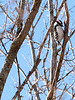 015-bird_woodpecker-wdsm-04jan13-9276