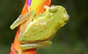 Red-spotted Glass Frog (Nymphargus grandisonae)