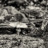Toadstool by Mending Wall, mono