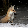 Red fox (who visited me most nights at the cabin)