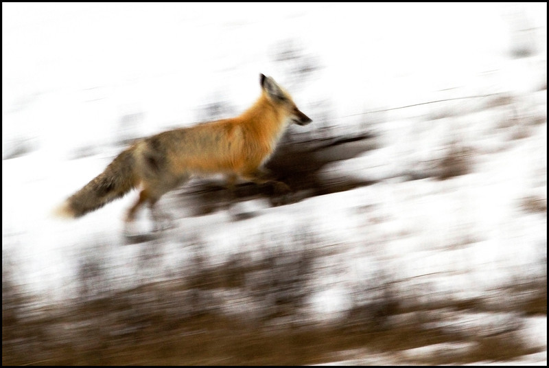 Morning impressions, red fox on run (Vulpes vulpes)