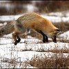 Red fox hunting  (Vulpes vulpes)