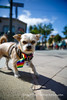 Burlingame_Dog_Parade_4675
