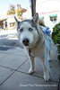 Burlingame_Dog_Parade_4664