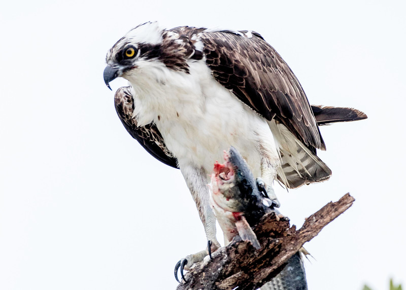 Osprey with snook