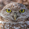 Burrowing Owl, processed with Topaz Glow