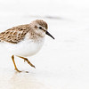Least Sandpiper, Bunche Beach
