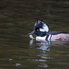 Hooded Merganser drake with crab