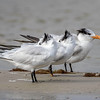 Royal Terns, Bunche Beach
