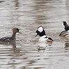 Hooded Mergansers, Springfield, Mar. 20, 2014
