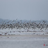 Black Skimmer flock