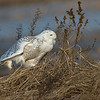 Snowy Owl with talons out