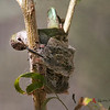 Costa's Hummingbird female on nest