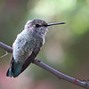 Costa's Hummingbird female