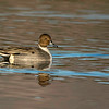 Northern Pintail, drake