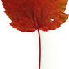 Red Maple leaf, fall foliage