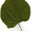 Basswood leaf, fall foliage