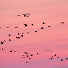 Cranes and pink skies at the Bosque