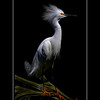 Dennis Read-Advanced-Snowy egret  mating display