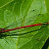 Karen Chizlett Male Large Red Damselfly re-sized