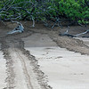 Turtle tracks leading into the Mangrove forest.  Galápagos green turtle (Chelonia agassizii),  is the only green sea turtle to nest on the beaches of the Galápagos Islands.  Santiago Island, Galápagos Islands, Ecuador.