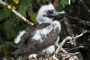 Red Footed Booby chick loosing it's baby fluff