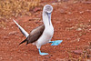 Blue-footed Booby Dance