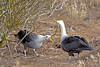 Waved Albatross Mating Dance