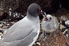 Swallow-tailed Gull getting ready to feed chick