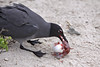 Circle of Life ~ Swallow-tailed Gull eating Frigatebird unborn chick