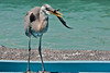 "Great Blue Heron with a Marine Iguana captured at edge of swimming pool. The GBHeron getting ready to swallow the Marine Iguana. ""Circle of Life"""