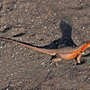 Red-headed lava lizard