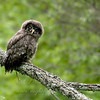 Great Gray Owl chick © 2010 C. M. Neri Chippewa County, MI GGOWJ2    Mat Sizes  5 x 7 $10.00 USD 8 x 10 $18.00 USD 11 x 14 $28.00 USD card $4.00 USD