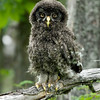 Great Gray Owl chick © 2010 C. M. Neri Chippewa County, MI GGOWJ    Mat Sizes  5 x 7 $10.00 USD 8 x 10 $18.00 USD 11 x 14 $28.00 USD card $4.00 USD