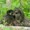 Great Gray Owl Family © 2010 Nova Mackentley Upper Peninsula, MI GGA    Mat Sizes  5 x 7 $10.00 USD 8 x 10 $18.00 USD 11 x 14 $28.00 USD card $4.00 USD