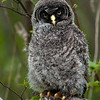 Great Gray Owl chick © 2010 C. M. Neri Chippewa County, MI GGOWB    Mat Sizes  5 x 7 $10.00 USD 8 x 10 $18.00 USD 11 x 14 $28.00 USD card $4.00 USD