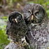 Great Gray Owls © 2010 C. M. Neri. Chippewa County, MI GGOWM&J    Mat Sizes  5 x 7 $10.00 USD 8 x 10 $18.00 USD 11 x 14 $28.00 USD card $4.00 USD