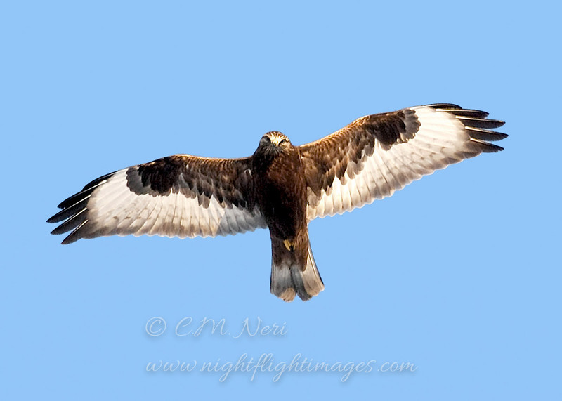 Rough-legged Hawk © 2006 C. M. Neri. Cape Vincent, NY    Mat Sizes  5 x 7 $10.00 USD 8 x 10 $18.00 USD 11 x 14 $28.00 USD card $4.00 USD