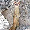 Long-tailed Weasel © 2010 C. M. Neri. Paranaghat National Wildlife Refuge, NV LTWE    Mat Sizes  5 x 7 $10.00 USD 8 x 10 $18.00 USD 11 x 14 $28.00 USD card $4.00 USD