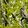 Great Gray Owl summer © 2006 Chris Neri Chippewa County, MI GGOWSUMMER    Mat Sizes  5 x 7 $10.00 USD 8 x 10 $18.00 USD 11 x 14 $28.00 USD card $4.00 USD