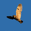 Long-eared Owl © 2002 C. M. Neri Snake River Canyon, ID LEOWFLGT    Mat Sizes  5 x 7 $10.00 USD 8 x 10 $18.00 USD 11 x 14 $28.00 USD card $4.00 USD