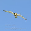 Short-eared Owl © 2006 Chris Neri  Cape Vincent, NY SEOWNY    Mat Sizes  5 x 7 $10.00 USD 8 x 10 $18.00 USD 11 x 14 $28.00 USD card $4.00 USD